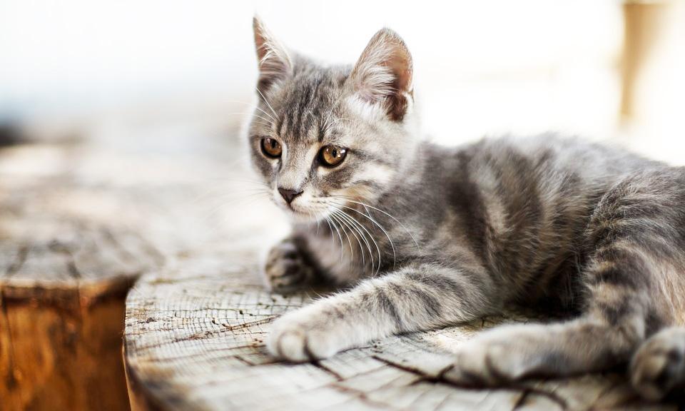 cat-1146436_960_720