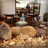 Un café où l'on peut câliner des hérissons !