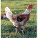 Beau poulet au Saint Moret.