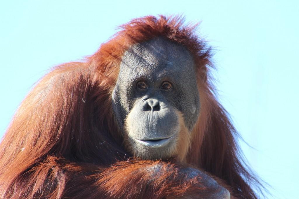 orangutan-481008_1920